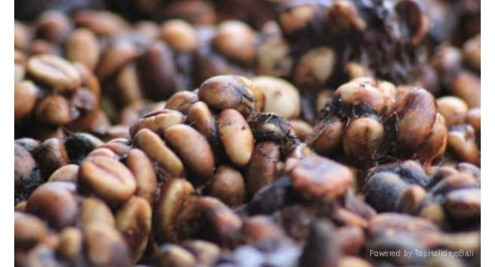 Natural Tueste Indonesia Kopi Luwak Coffee 100% Arabica